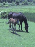 Horse babies and daddy 004