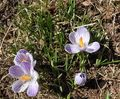 Blooming crocus (2) - Copy