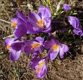 Blooming crocus (3) - Copy