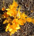 Blooming crocus (1) - Copy