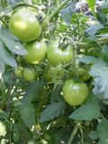 Ripening August 2 (2)