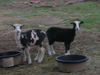 Naked_sheep_and_goats_005