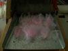 Pink_cormo_angora_batt_004
