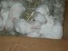 Baby_bunnies_2006_005