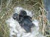 Baby_bunnies_2006_009