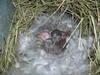 Baby_bunnies_2006_010_1