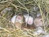 Baby_bunnies_2006_012