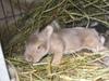 Baby_bunnies_2006_014