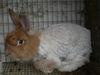 Bunny_shearing_001_1