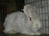 Bunny_shearing_006