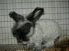Bunny_shearing_017