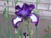 Iris_002_2