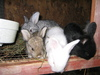 Kittens_and_bunnies_010