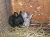 Kittens_and_bunnies_011