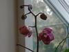 Orchids_086